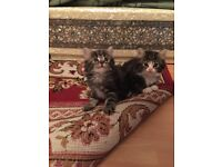 3 beautiful Tabby kittens! 8 weeks old and ready today!!