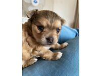 Longhair chihuahua puppy