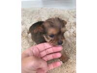 jackapoo puppys , jack Russell cross toy poodle