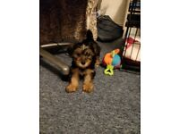 Beautiful Yorkshire Terrier Puppy Girl