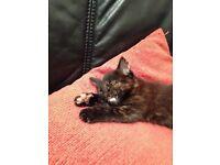 Beautiful kitten for sale - girl - black,ginger & white 8weeks old £60