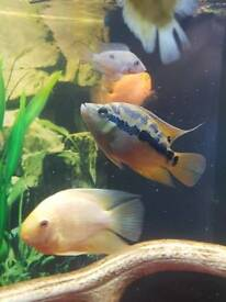 Cichlasoma salvini and small black and red Oscar.... Fish