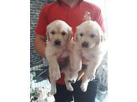 KC Registered Golden Retriever puppies. Full pedigree of both parents. Pet plan insured..