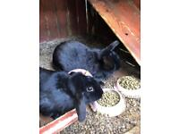 2 jet black rabbits free