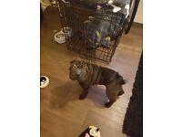 18 week old pure pedigree lmale Sharpe pai