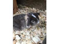Mini Lop Baby Rabbits for sale