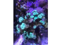 Candy Cane Coral fluorescent 21 heads