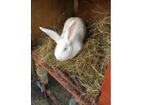 2 female conti rabbits