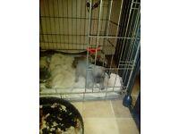 Kc French bulldog blue sadle and tan pippies