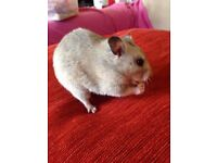"""""""URGENT"""" lovely coloured hamster """"FREE"""" to good home"""