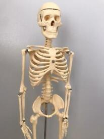 Skeleton 85cm tall - Educational TickIT