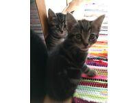 kittens tabby for sale. 1boy&1girls