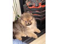 Pomeranian puppy - one available - orange sable - looking for good home