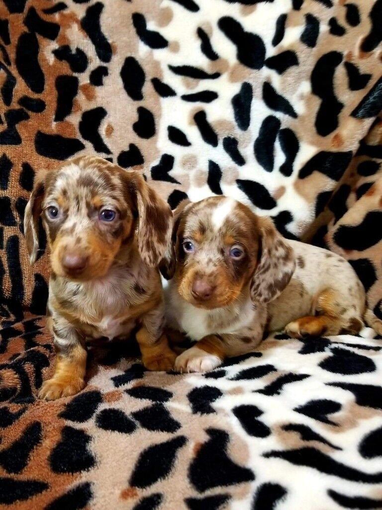 2 Beautiful Chocolate Dapple Dachshund Puppies In Victoria Park
