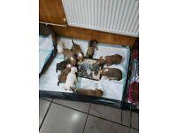 Staffy mum x frenchbull dog dad puppies