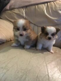 beautiful pomeranian X jack russell puppies for sale!!