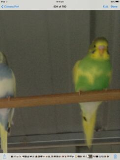 Budgies for sale Ferntree Gully Knox Area Preview
