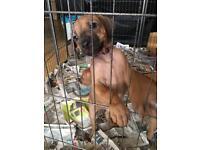 Kennel club registered Rhodesian ridgeback puppy