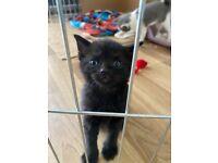All black kitten for sale