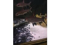 4 silver dollar sharks need gone asap offers welcome