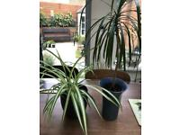Houseplants: spider and Dracaena In ceramic pots. Collect Fulham