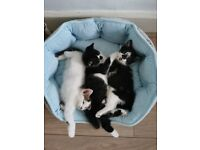 3 kittens for sale £80 each. 8 weeks old.