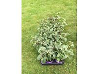 Fuchsia plants