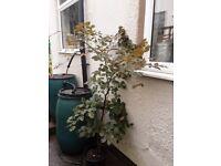 Copper beech saplings