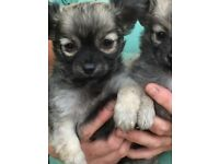 Chihuahua x toy poodle pups