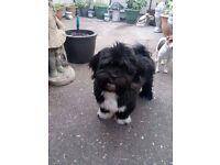 6 month old Lhasa Apso dog