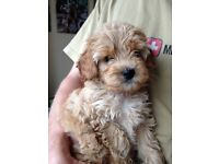 Beautiful Cavapoo Puppy