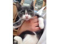 11 weeks old female Grey/White Russian Blue cross bread kitten