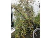 Large plant spirea snowbound