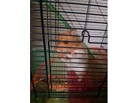 Female syrian hamster with cage