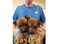 Pomeranian cross chinese crested puppies
