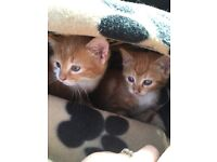 Two beautiful ginger kittens, to be homed together