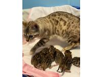 Bengal kittens available, born 24th September. Ready to go December