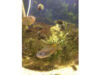 Cichlid juvenile fish Mbuna , acei