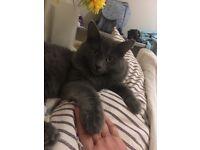 Grey cat needs a new home
