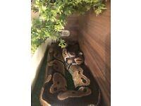 Standard Royal Python and full set up