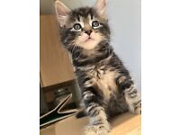 Adorable Bengal Cross Kittens looking for a new home