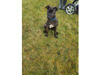 Alaunt Gentile (running mastiff) puppies for sale!