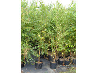 SILVER BIRCH TREES 10LT POTS 2.5-3M TALL, UNBEATABLE PRICE £7 TO CLEAR.PLANT NOW.VALUE,VALUE,VALUE!!