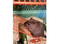 2x gerbils free to good home