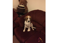 Beagle Puppy Girl 5 month old