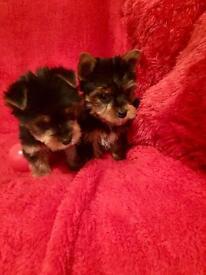 Yorkshire terrier puppy's
