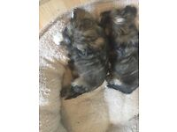 LHASA TZU puppies 2 females ready now
