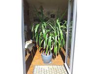 Mature Yukka Plant