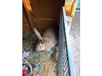 Female continental rabbit