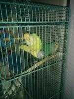 Pair of love birds with cage $100